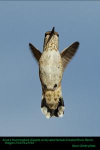 Anna's Hummingbird F27734