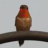 Rufous Hummingbird M28408