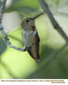 Allen's Hummingbird F107624