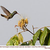 Rufous-tailed Hummingbird A84549