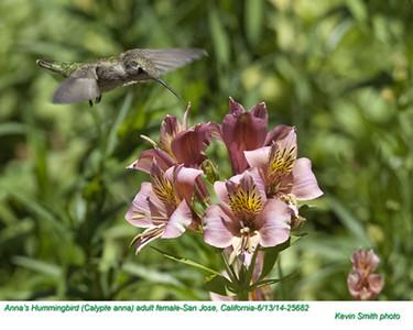 Anna's Hummingbird F25682