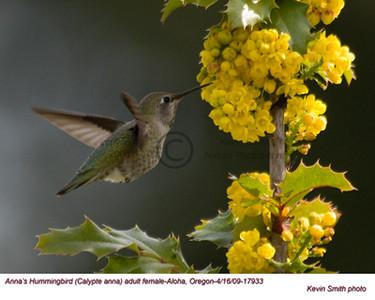 Anna'sHummingbirdF17933