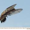 Rufous Hummingbird F73104