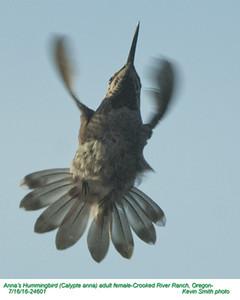 Anna's Hummingbird F24601