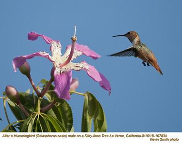 Allen's Hummingbird M107834