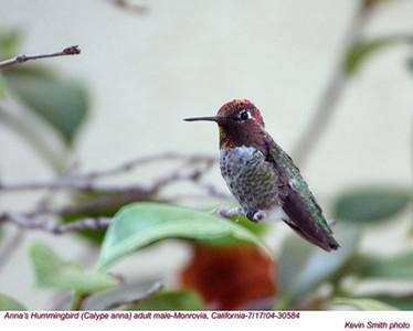 Anna'sHummingbird30584