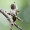 Scintillant Hummingbird F82815
