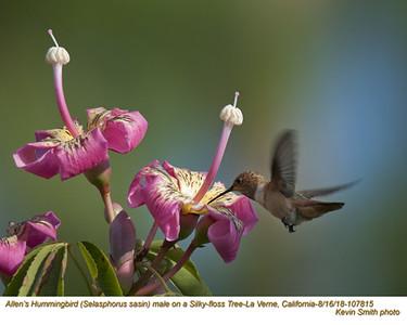 Allen's Hummingbird M107815