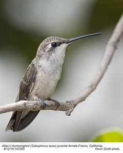 Allan's Hummingbird J107285