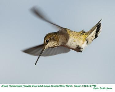Anna's Hummingbird F27750
