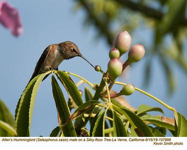 Allen's Hummingbird M107888