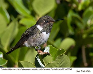 Scintillant Hummingbird F83047