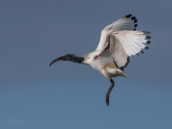 African Sacred Ibis, Intaka Island, Cape Town, Sept 2016-4