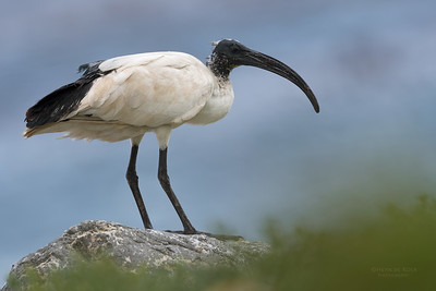 African Sacred Ibis, Cape of Good Hope NP, Sept 2016