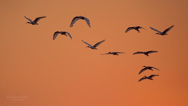 African Sacred Ibis, Chobe River, NAM, Oct 2016-1