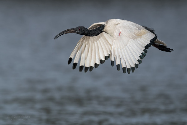 African Sacred Ibis, Intaka Island, Cape Town, Sept 2016-10
