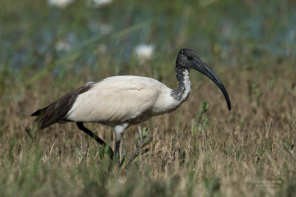 African Sacred Ibis, Khwai River Concession, Botswana, May 2017-1