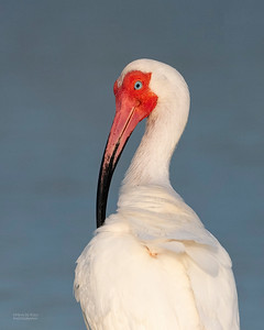 White Ibis, Fort De Soto, St Petersburg, FL, USA, May 2018-2