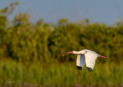 White Ibis, Fort De Soto, St Petersburg, FL, USA, May 2018-5