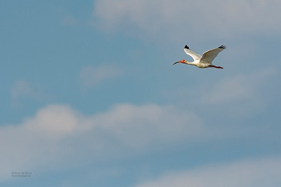 White Ibis, Fort De Soto, St Petersburg, FL, USA, May 2018-6
