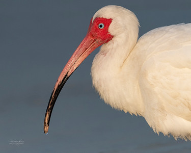 White Ibis, Fort De Soto, St Petersburg, FL, USA, May 2018-1