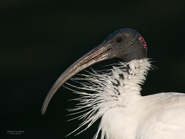 Australian White-ibis, Clear Island Waters, QLD, Aus, Jun 2013-1