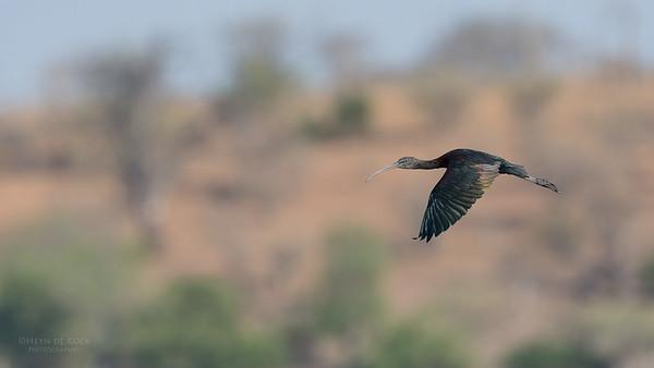 Glossy Ibis, Chobe River, NAM, Oct 2016-1