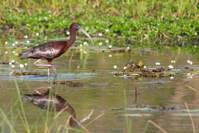 Glossy Ibis, Kakadu NP, NT, Oct 2010-1