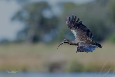 Hadeda Ibis, Eagle Island, Okavango Delta, Botswana, May 2017-1