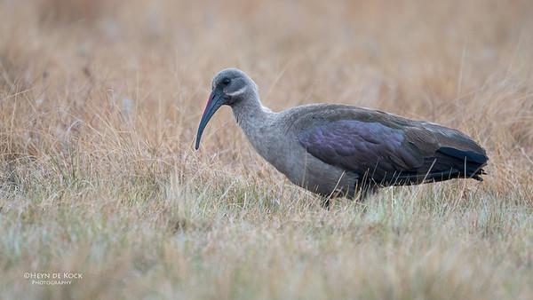 Hadeda Ibis, Goldengate NP, FS, SA, Oct 2016-2