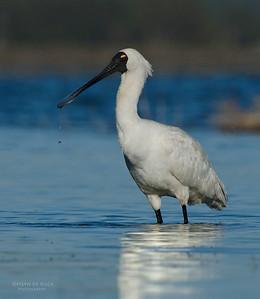 Royal Spoonbill, Lake Claredon, QLD, Aus, Nov 2011-2