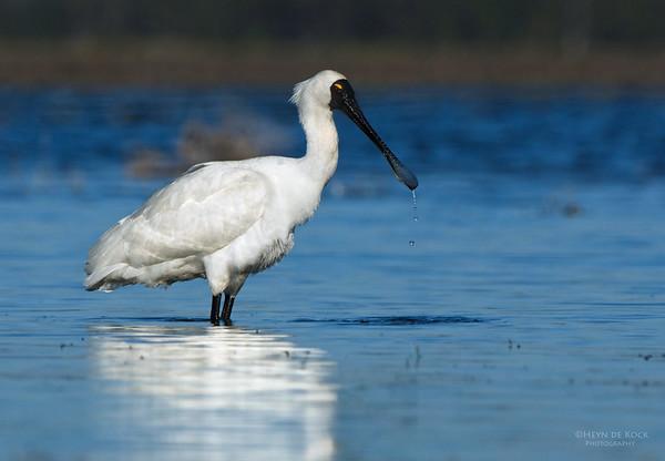 Royal Spoonbill, Lake Claredon, QLD, Aus, Nov 2011-3