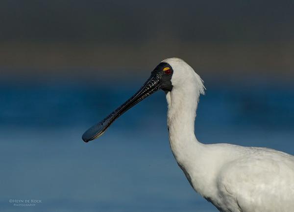 Royal Spoonbill, Lake Claredon, QLD, Aus, Nov 2011