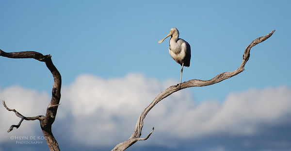 Yellow-billed Spoonbill, Ocean Beach, Denmark, WA, Aus, Jun 2008