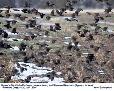 TriColoredBlackbirds&Starlings13544