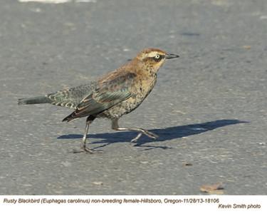 RustyBlackbirdF18106