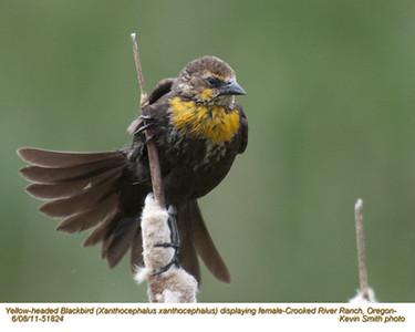 YellowHeadedBlackbirdF51824