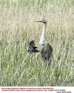 RedWingedBlackbird&SadhillCrane9856