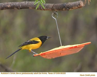Audubon'sOrioleA58328