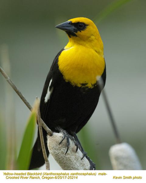Yellow-headed Blackbird M25214