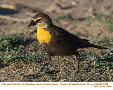 YellowHeadedBlackbirdF2567