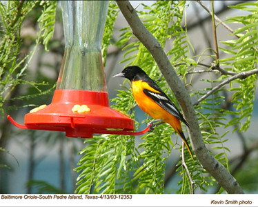 BaltimoreOriole12353