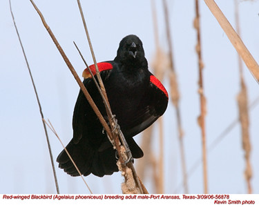 RedWingedBlackbirdM56878