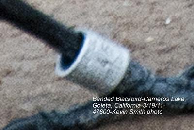 BandedRedWingBlackbird47600