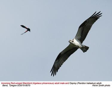 OspreyA&RedWingedBlackbirdM8070