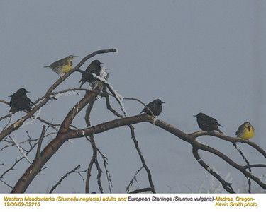 WesternMeadowlarks&Starlings32216