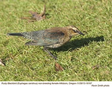RustyBlackbirdF18167