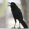 Great-tailedGrackleM13558