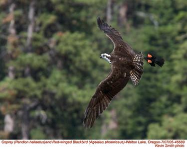 Osprey&RedWingedBlackbird46689