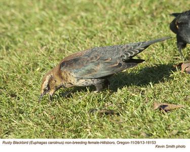 RustyBlackbirdF18153